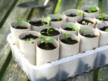 Plantera frön. Fyll rullarna med jord och ställ i plastlåda eller på en bricka. Rullens djup gör att plantorna kan utveckla långa, fina rötter. Man kan vattna underifrån, vilket ger bra fukt åt rötterna och lagom torrhet på ytan för grodden.Sen är det bara att plantera ut hela rullen i landet eftersom den praktiskt nog förmultnar.