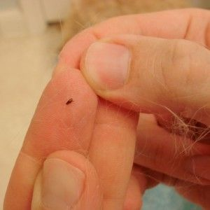 Effective Home Remedies for Killing Fleas [amazing, I tried the salt & baking soda immediatly.. now be forwarned those lil buggers DONT Like the stuff, they go NUTS at 1st, just dont give up.. it's working! Oh and bathe your dog in DAWN Dishsoap when u are doing this cuz it kills every flea it touch's]