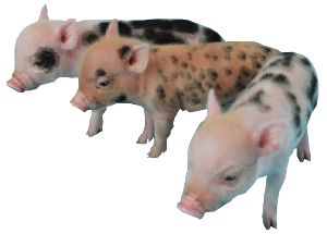 The Juliana Pig Association & Registry Site, Which Includes: The Official Breed Standard for Juliana Pigs Or Miniature Painted Pigs & Links To ETHICAL Breeders (so you don't end up with a 1/2 ton hog...it happens!)