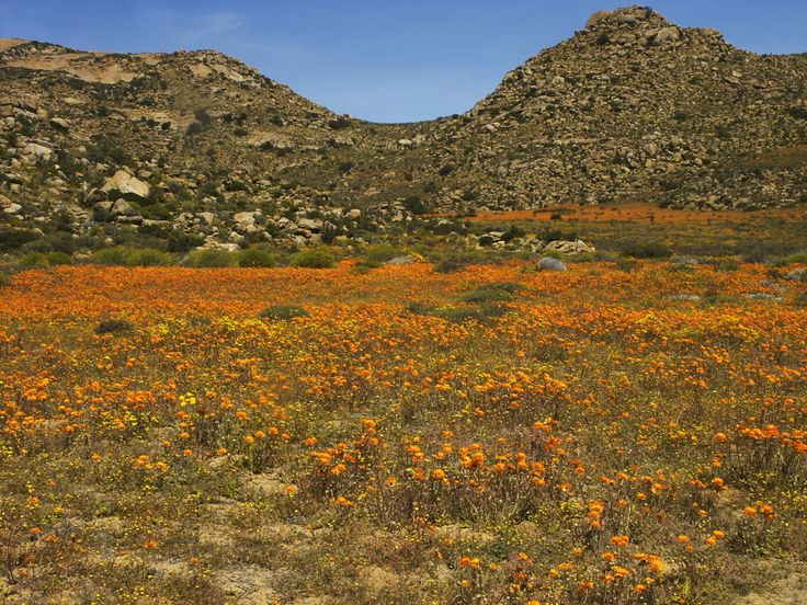 The Flower fields of Namaqualand - South Africa | 17 Stunning Natural Wonders You Didn't Know Existed