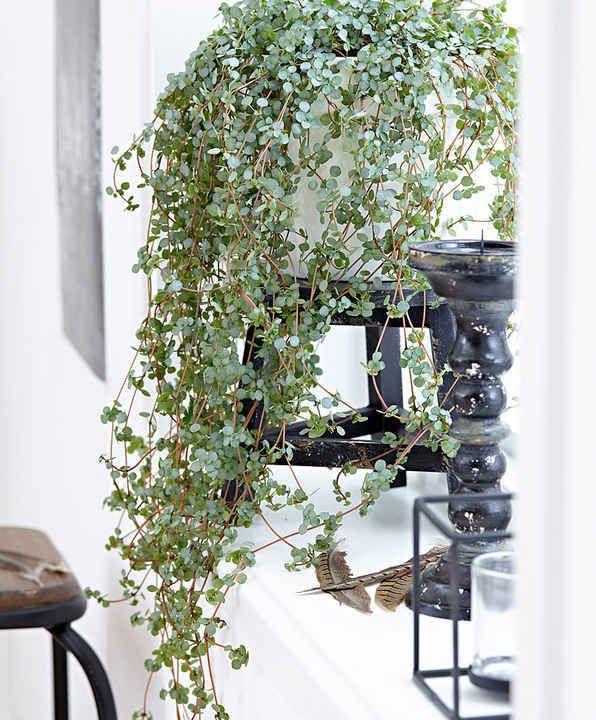 10 Plantes Retombantes d'Intérieur Indispensables à la Maison  Pilea retombant