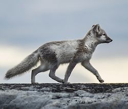 Foxwalk by Barbara A.S.