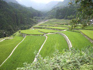 La culture du riz au Japon