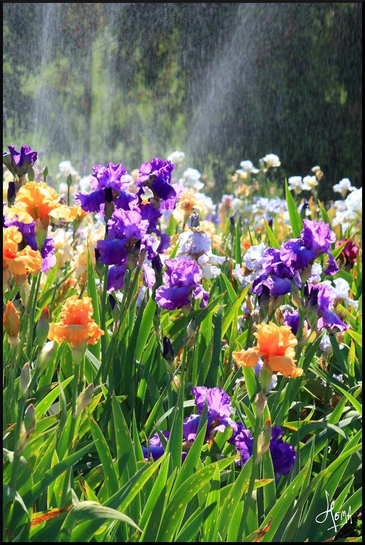 17 best images about everlasting  orris  u0026 violet on pinterest