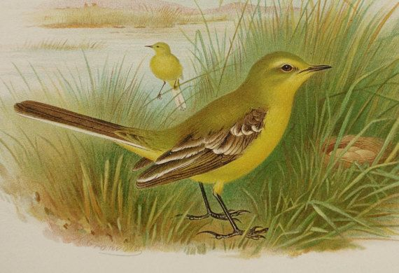 1890 Antique lithograph of a YELLOW WAGTAIL by AntiquePrintsOnly