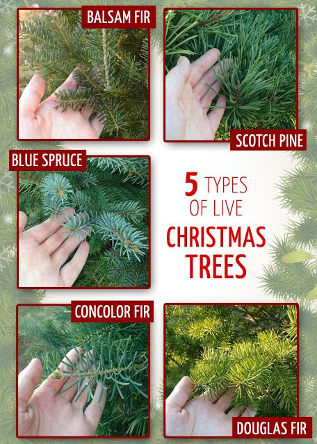 types of live christmas trees - Type Of Christmas Trees