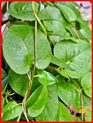 Khasiat Binahong  Apa anda tahu manfaat dan khasiat daun binahong ? Ya daun yang berbentuk lonjong dan berwarna hijau ini banyak sekali manfaat dan khasiatnya terutama untuk kesehatan. Hidup dengan menjalar dipepohonan tetapi tidak merugikan tempat yang ditinggalinya.....  Selengkapnya: http://arenawanita.com/3-khasiat-binahong/