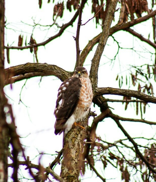 8 best birds of georgia images on pinterest backyard for Fish hawk atlanta