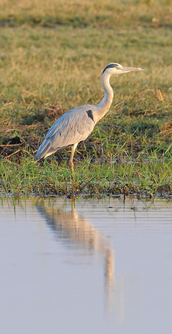 Blue heron and its reflection in the river