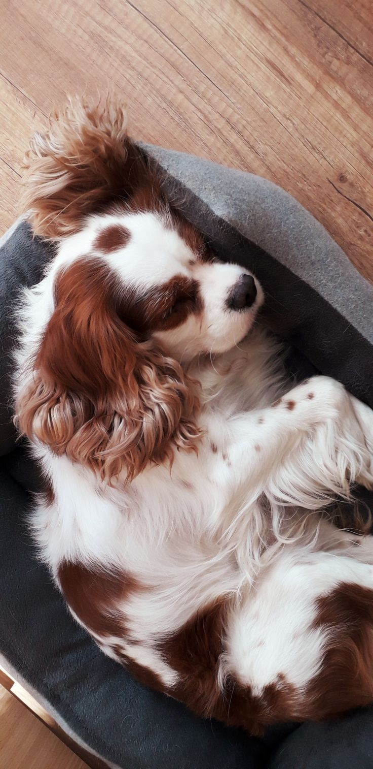 My Cavalier King Charles Spaniel King Charles Cavalier Spaniel Puppy Cavalier King Charles Spaniel Tricolor Cavalier King Charles Spaniel