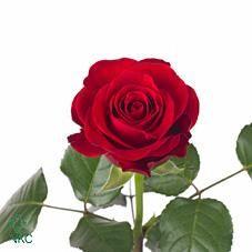 Rosa - Red Ribbon - Rose - Rød