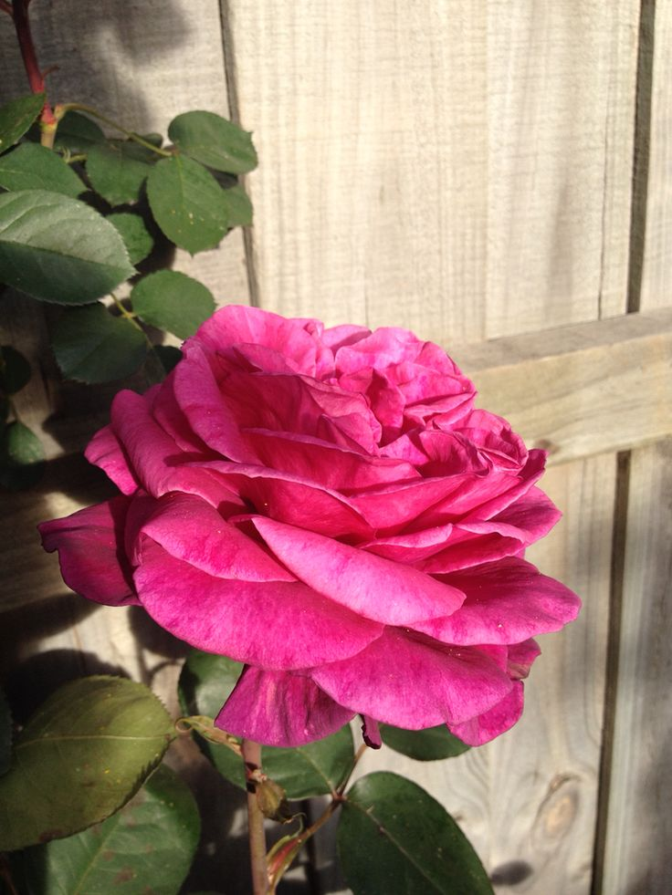 The old rose by the letter box