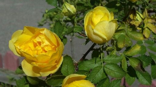 Gula rosor på landet!