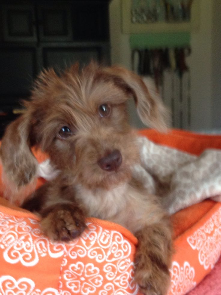 17 Best Images About Doxiepoo On Pinterest Adoption