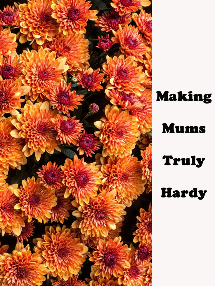Hardy Mums - They call them hardy mums, but they often end up as compost. Tips for getting your mums to over-winter. http://gardening.about.com/od/maintenance/qt/HardyMums.htm #gardening
