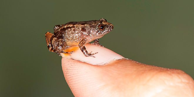Seven new frog species from India's Western Ghats have been discovered. This one measures 0.54 inches (13.6 millimeters).