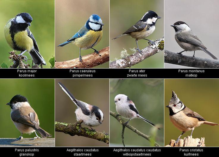 Meesjes kan je het gehele jaar door in bijna elke tuin vinden al worden onze nestkasten het meest door kool- (Parus major) en pimpelmezen (Parus caeruleus) bewoond. Bekijk hier de verschillende soorten mezen.