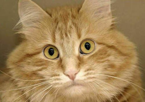 Портреты кошек - мордочки крупным планом