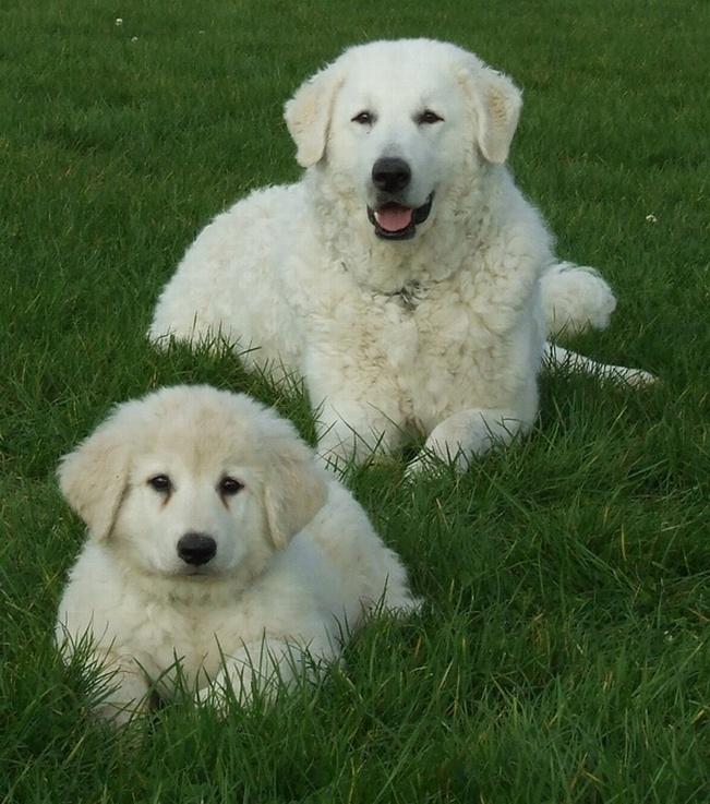 KUVASZ - my other favorite dog