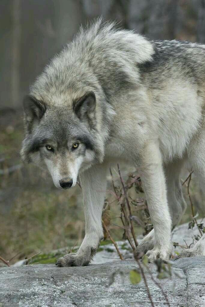 the grey wolf Range description: originally, the grey wolf was the world's most widely  distributed mammal, living throughout the northern hemisphere north of 15°n  latitude in.