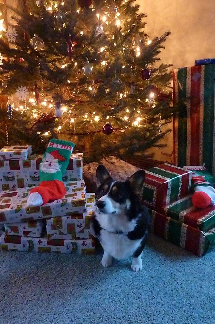 Pembroke Welsh Christmas Corgi..who took my doggie..lol..looks just like my Lexi :)