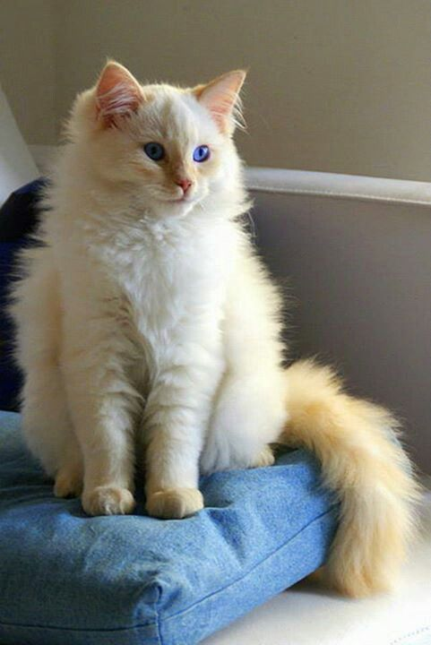 beautiful white and orange fluffy cat