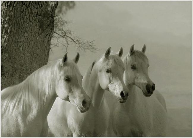 Trzy białe konie