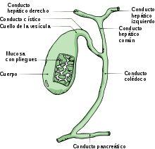 El aparato digestivo es el conjunto de órganos encargados del proceso de la digestión, es decir, la transformación de los alimentos para que puedan ser absorbidos y utilizados por las células del organismo.