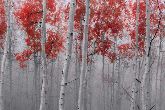 Peter Lik's Scarlet Moods, taken in Deer Valley Utah, December 7, 2014.