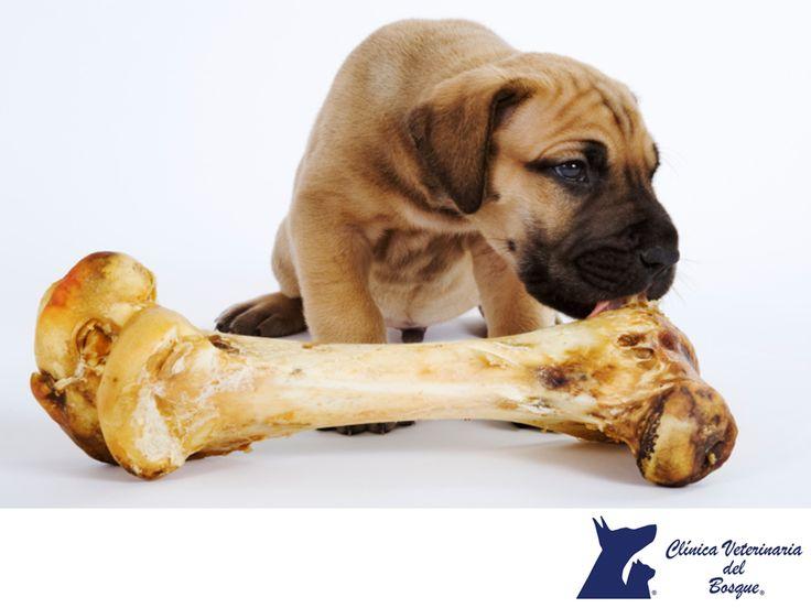 Los huesos cocidos. CLÍNICA VETERINARIA DEL BOSQUE. Es posible que nuestro perro se alimente comiendo huesos, a ellos les encanta, pero algunos huesos especialmente los cocidos, al ablandarse pueden generarle heridas considerables en todo el tracto digestivo, lo ideal es con alimento balanceado de buena calidad. En Clínica Veterinaria del Bosque, te damos algunos tips para cuidar la salud de tu mascota. www.veterinariadelbosque.com #cuidadodemascotas