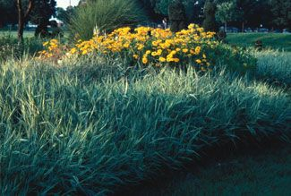 Maintenance of Ornamental Grasses - Ornamental Grasses - University of Illinois Extension