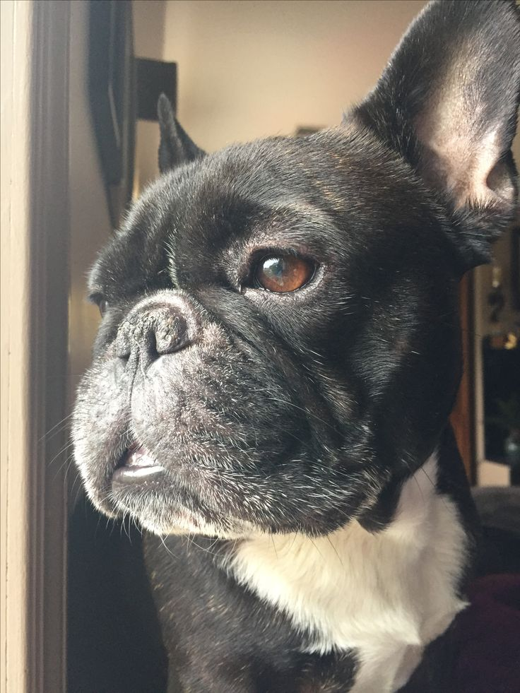 Checking up on the neighbors. Nosey French Bulldog ♥