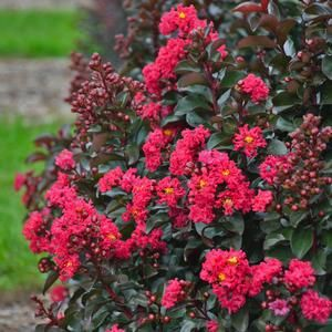 Lagerstroemia Cherry Mocha - Buy Crapemyrtles Perennials Online