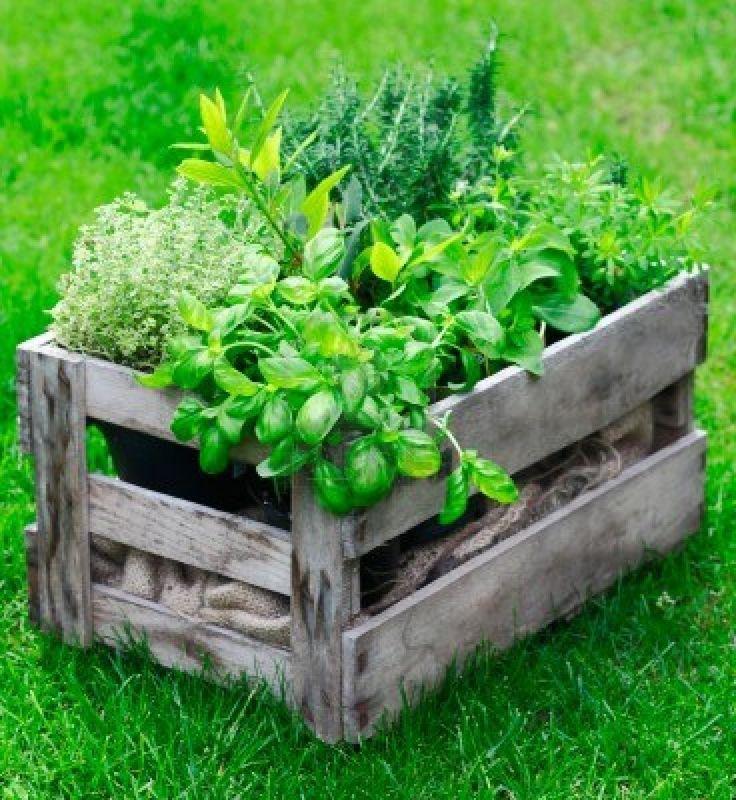 Rustieke houten krat op een weelderige tuin gazon gevuld met verse kruiden kweken als zowel een decoratieve functie en voor gebruik in de keuken Stockfoto