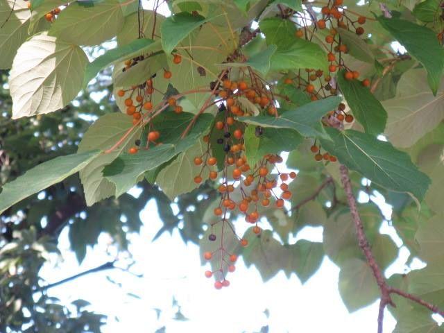 12月3日の誕生日の木は深紅の房状の実が美しい「イイギリ(飯桐)」です。 イイギリ科イイギリ属の落葉高木です。 原産地は、日本中南部。本州の温暖な地域から、四国、九州、南西諸島、台湾、中国中南部までのやや湿気の多い場所や海岸近辺の山地に分布します。イイギリ科イイギリ属は、イイギリ1種のみの東アジア特産種だそうです。 イイギリの名前は、葉がキリ(桐)にており、昔はこの葉でご飯を包んだことに由来して「飯桐」となったといわれています。果実がナンテン(南天)に似るためナンテンギリ(南天)の別名を持ちます。 樹高は15m~20m。直径は50cmに達します。太い幹が真っ直ぐ立ち、1m~1.5mの間隔を保ちながら枝がまとまって水平方向に伸び、階層構造となります。このような樹形をパコダ(東洋の仏塔)ツリーと呼びます。 開花期は4月~5月。雌雄異株で、枝先に円錐花序(下のほうになるほど枝分かれする回数が多く、全体をみると円錐形となります)を出し、緑色から黄緑色の花をたくさんつけます。