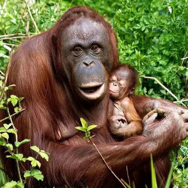 Orangutans ~ such a tiny baby with Mum.