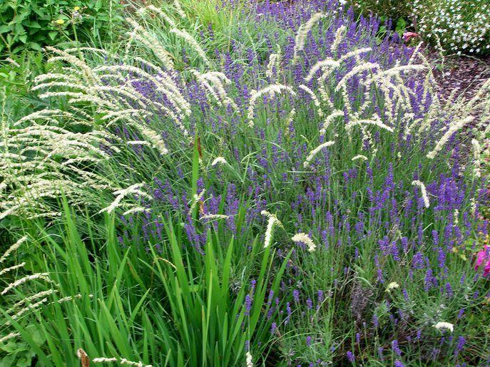 Afbeeldingsresultaat voor Echte lavendel combineren