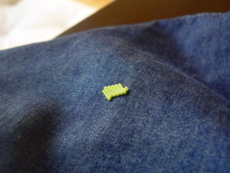 A green shield bug laid eggs on my shirt today.