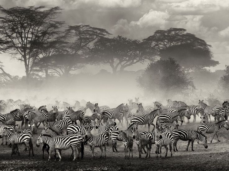 Image taken in the Serengeti in Tanzania during the migration period. Zebras and wildebeest were gathering on the edge of the river, waiting for the right moment to cross.
