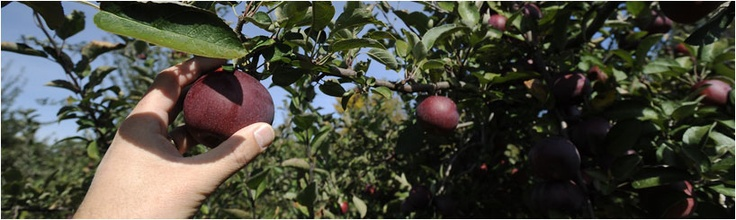 Apple, grape and pumpkin picking at Chadakoin Farms    10459 Prospect Road  Forestville, NY 14062  716-965-2674