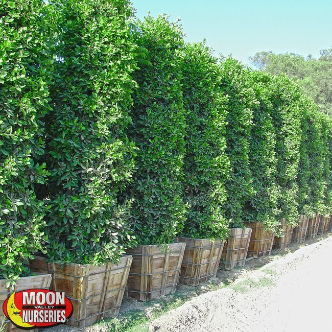 Evergreen Privacy Landscaping