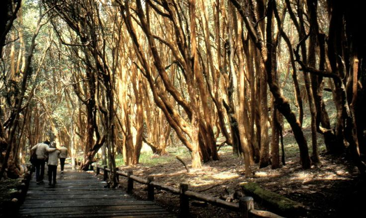 Bosque de Arrayanes (Luma apiculata) Lago Quetrihue