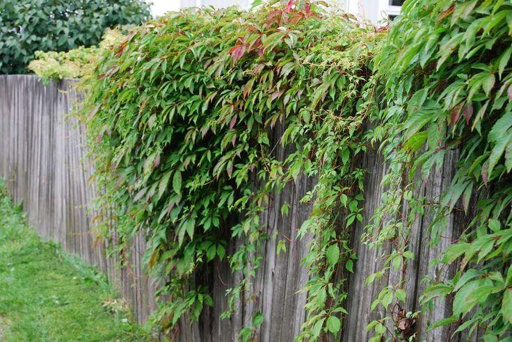 GJERDEDEKKER. Dekk gjerdet mellom deg og naboen med klatreplanter. Villvin vokser fort og blir dyprød om høsten.