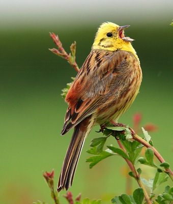The yellowhammer is a passerine bird in the bunting family that is native to Eurasia and introduced to New Zealand, Australia, Uruguay, Brazil, Argentina, Chile, the Falkland Islands, South Africa, United States and Canada.
