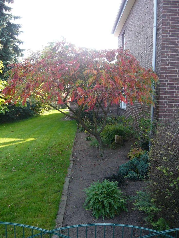 Rhus typhina 'Dissecta' / Farnwedel-Sumach / Geschlitzblättriger Essigbaum – ein Ideal Strauchbaum für kleine Gärten oder Vorgärten der im Herbst mit einem orangeroten Farbenspiel begeistert