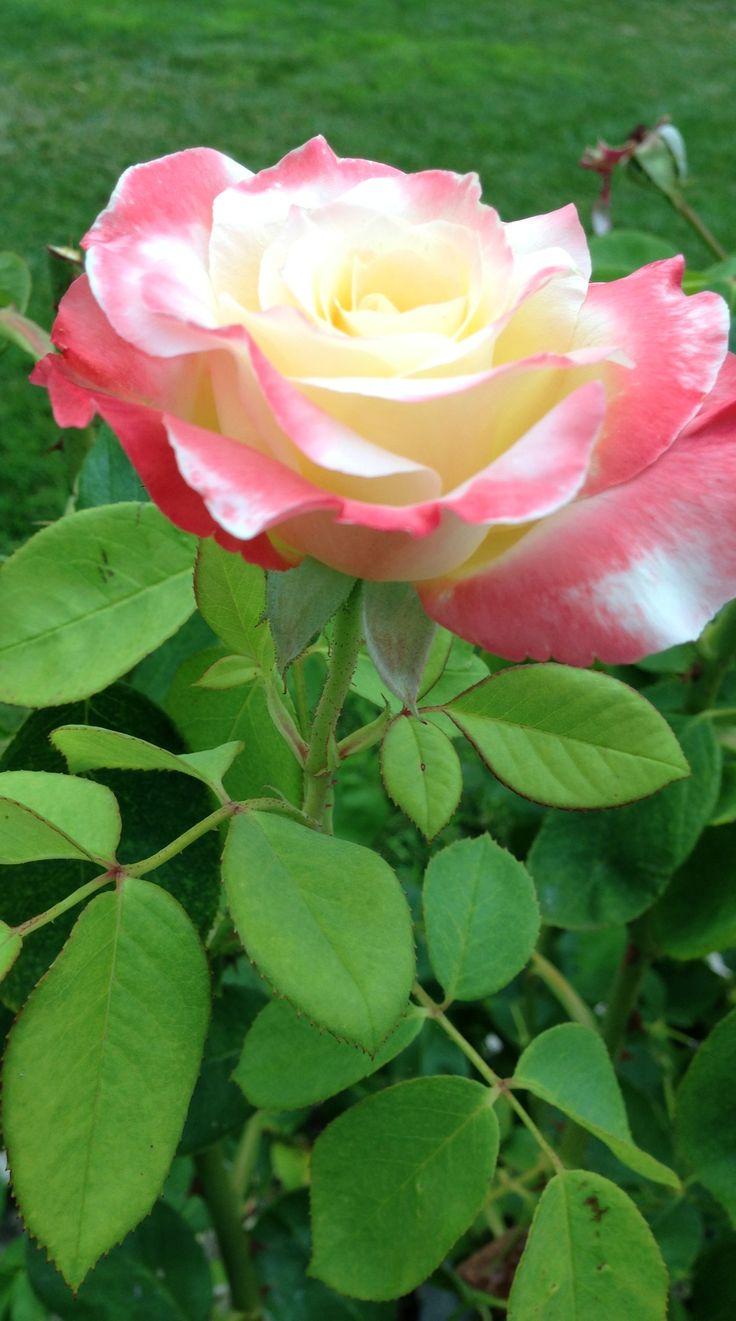 Rose in bloom. photo by Sari.