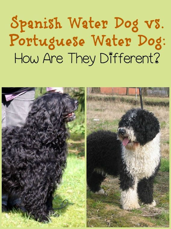 Spanish Water Dog vs. Portuguese Water Dog