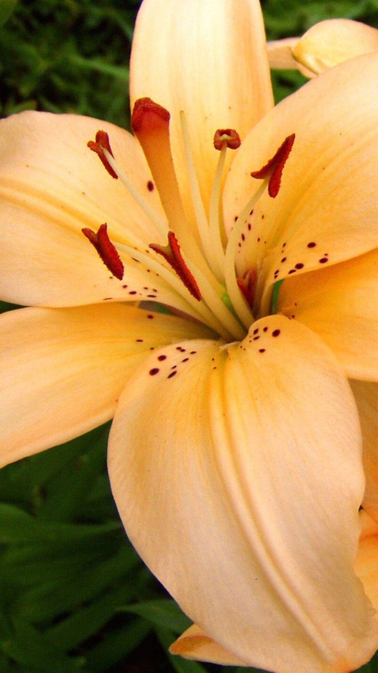 lilies, flowers, stamens, petals, buds, close-u