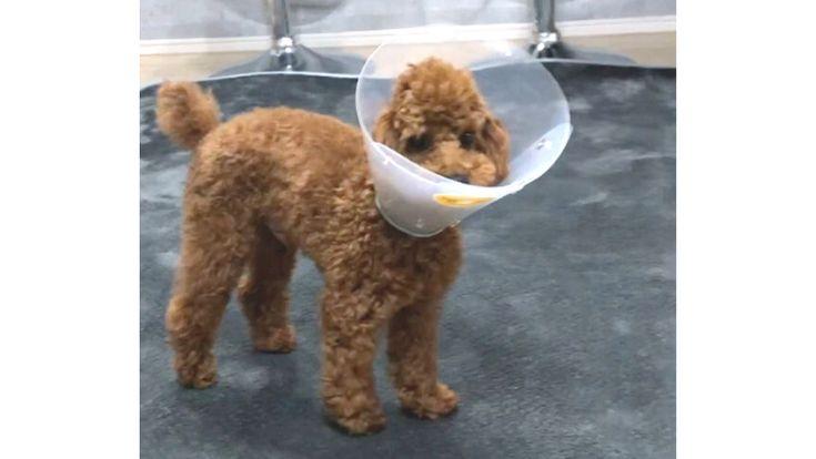 犬 陰睾丸 停留睾丸 診断 手術 術後記録 2021 ペットフード プードル トイプードル