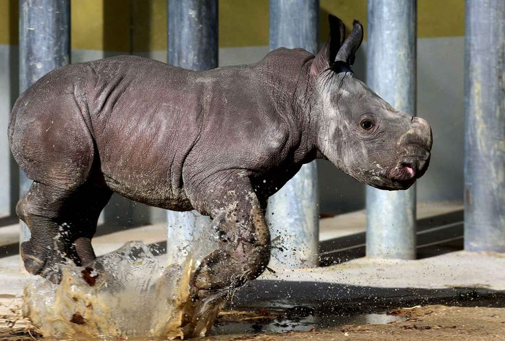 Ce bébé rhinocéros se nomme Kibo.